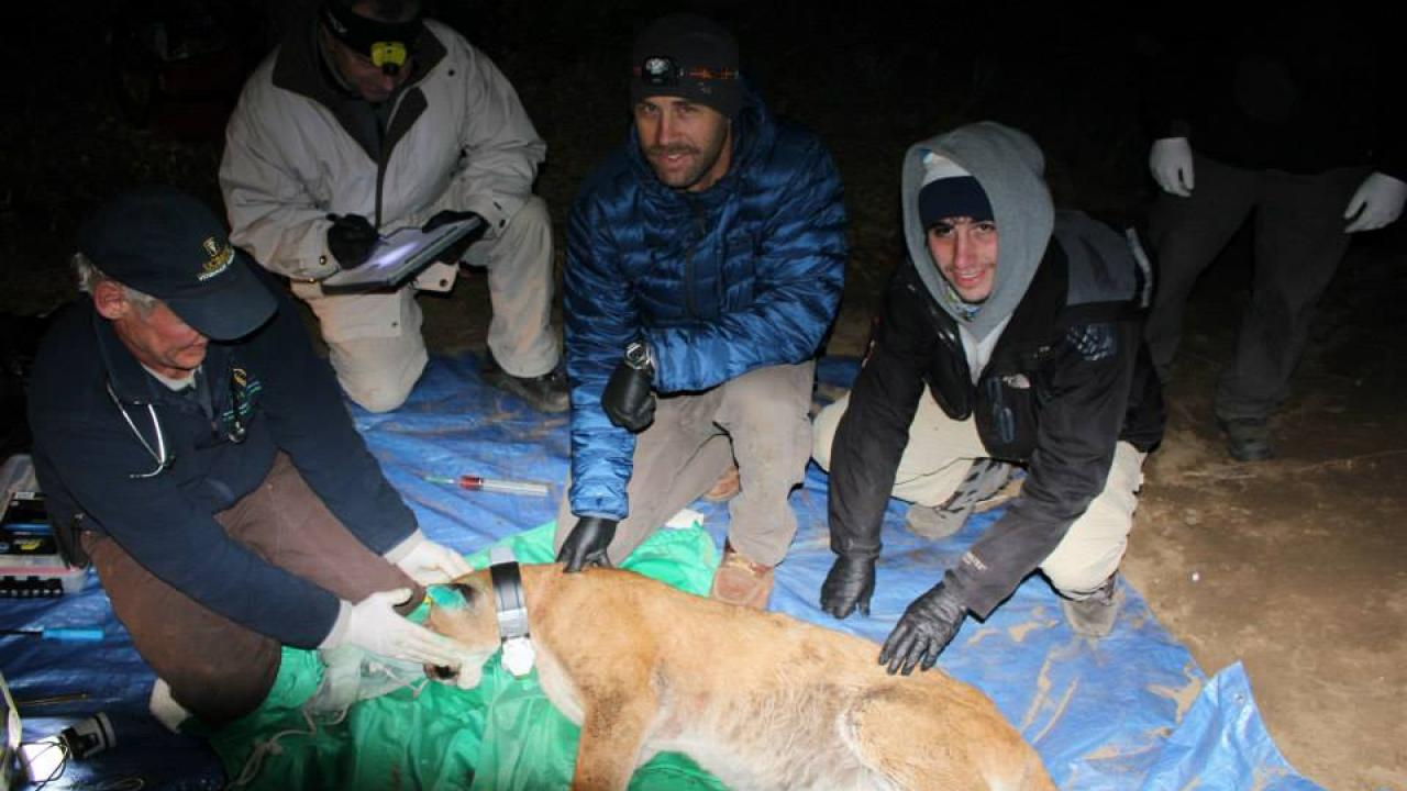 mountain lion patient