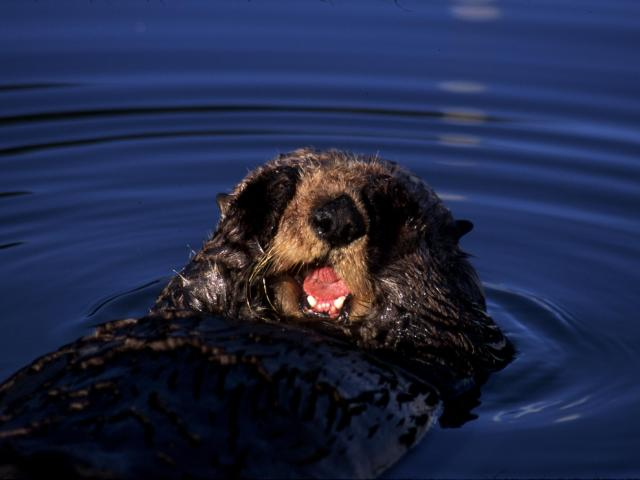 sea otter covering its eyes