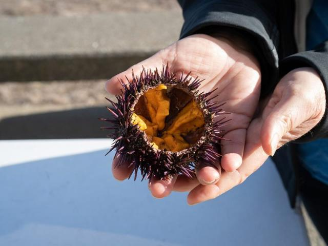 open sea urchin